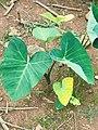 Cocoyam leaves 001.jpg