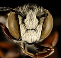 Coelioxys germana, m, face, Kent Co, MD 2015-12-08-17.25 (23346965280).jpg