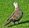 Collared Dove, Dubai 01
