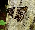 Colobura dirce .Zebra Mosaic. Tribe Coeini. - Flickr - gailhampshire.jpg