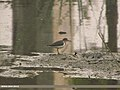 Common Sandpiper (Actitis hypoleucos) (15708366157).jpg