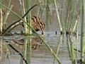 Common Snipe (Gallinago gallinago) near Hodal, Haryana W IMG 6471.jpg