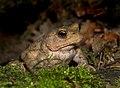 Common Toad (Bufo bufo), Parc de Woluwé, Brussels (14859863829).jpg
