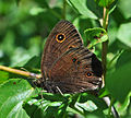 Common Wood-Nymph (Cercyonis pegala) (7428344378).jpg