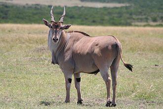 Common eland - Common eland bull