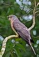 Common hawk-cuckoo Satchari.jpg