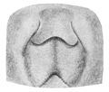 Comstock Zygoballus epigyne.png