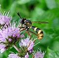 Conops quadrifasciatus. Conopidae. Female - Flickr - gailhampshire.jpg