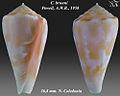 Conus bruuni 2.jpg
