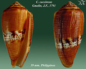 Description de l'image Conus coccineus 1.jpg.