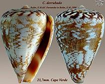 Conus derrubado4.jpg