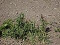 Conyza bonariensis (L.) Cronq. (AM AK300555).jpg