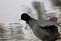 Coot and Fishing Lure (27378293914).jpg