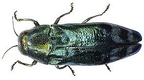 Florentiner Prachtkäfer (Coraebus florentinus)