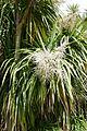 Cordyline australis-Parc du Grand Blottereau (3).jpg