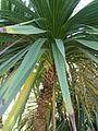 Cordyline australis 'Cabbage tree' (Agavaceae) leaf.JPG