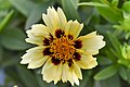 Coreopsis tinctoria cultivar Uptick Cream and Red 4.JPG