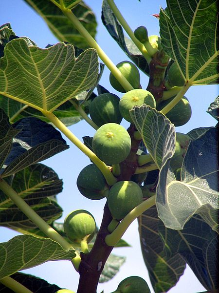 File:Corfu fig fruits bgiu.jpg