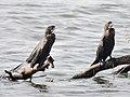 Cormorants Sirudavoor Dec20 DSCN5032.jpg