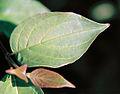 Cornus sericea leaf.jpg
