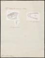 Coronella austriaca - 1700-1880 - Print - Iconographia Zoologica - Special Collections University of Amsterdam - UBA01 IZ12100289.tif