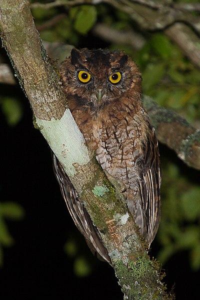 File:Corujinha-sapo (Megascops atricapilla) no Parque Estadual Intervales.jpg