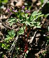 Corydalis intermedia 3.jpg