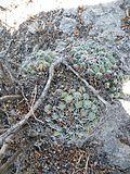 Coryphantha maiz-tablasensis (5710954864).jpg