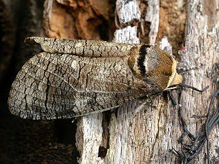 Drevotoč obyčajný (lat. Cossus cossus) - dospelý motýľ