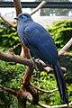Coua caerulea (Blauer Seidenkuckuck - Blue Coua) - Weltvogelpark Walsrode 2013-04.jpg