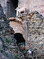 Coucy château (chèvres) 2.jpg