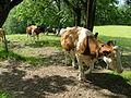 Cows, Gurten, Bern (krowy na Gurten).JPG