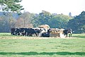 Cows feeding in New Town - geograph.org.uk - 591548.jpg
