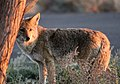 Coyote (Canis latrans) (33404169351).jpg