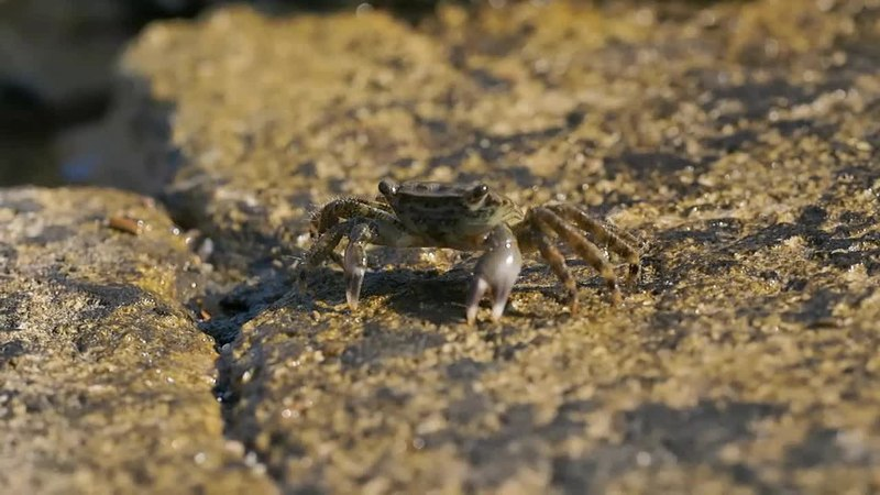 File:Crabs (Pachygrapsus marmoratus).webm