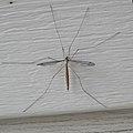 Crane Fly (Tipulomorpha) - Saskatoon, Saskatchewan.jpg
