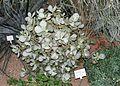 Crassula arborescens - Botanischer Garten - Heidelberg, Germany - DSC01348.jpg