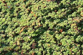 <i>Rubus hayata-koidzumii</i>