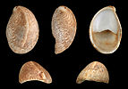 Crepidula fornicata 01.JPG