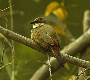 Description de l'image Crimson-rumped Waxbill - Kenya 0334 (22987577385).jpg.