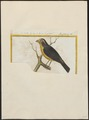 Crithagra butyracea - 1700-1880 - Print - Iconographia Zoologica - Special Collections University of Amsterdam - UBA01 IZ16000323.tif