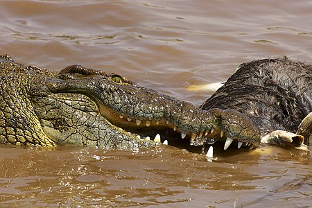 Nile Crocodile (Crocodylus niloticus) feeding on a dead Wildebeest, during the Great Migration, in the Masai Mara, Kenya