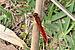 Crocothemis erythraea qtl1.jpg