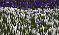 Crocuses white and purple (5493965991).jpg