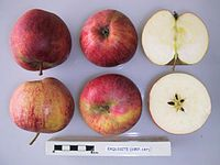 Cross section of Exquisite, National Fruit Collection (acc. 1957-197).jpg