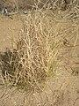 Crotalaria burhia (Sania).JPG