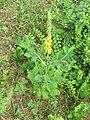 Crotalaria pallida Smooth Rattlebox at Mayyil (17).jpg