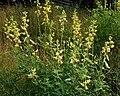 Crotalaria quinquefolia W IMG 2170.jpg