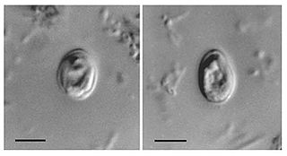 <i>Cryptosporidium</i> genus of apicomplexan parasitic alveolate