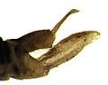 Ctenarytaina spatulata (male terminalia).jpg